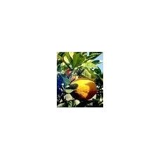 Apelsinų ekologiškas Eterinis Aliejus, 10ml