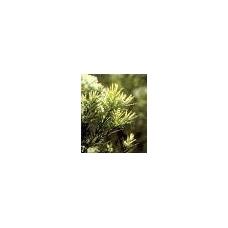 Arbatmedžio eterinis aliejus, 10ml