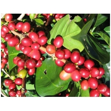 Kava Nicaragua shg Talia AAA Scr, 250 gr.