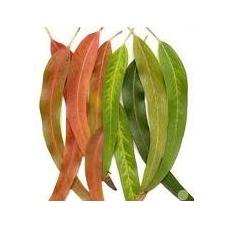 Žalioji arbata Imbieras - Eukaliptas, 50 gr.